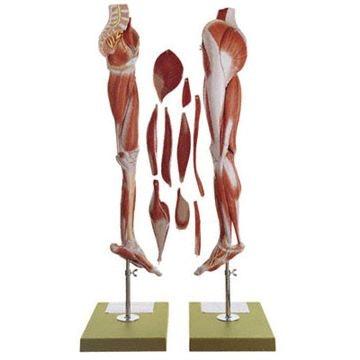 SOMSO Benmuskelmodel med bækkenbund