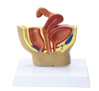 Miniature model af de indre kønsorganer hos kvinden set i et median-snit