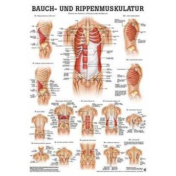 Lamineret muskelplakat om maven og ribbensmuskulaturen på tysk & latin