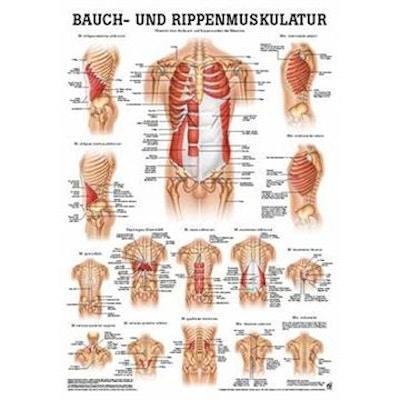 Laminerad plansch med mag- och revbensmuskler tyska & latin
