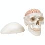 5-delt hjernemodel i kranie