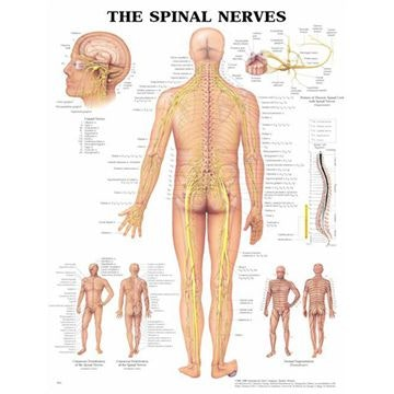 Plakat om spinalnerver på engelsk