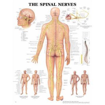 Ryggmargsnerver, laminert plakat på engelsk (Spinal Nerves)