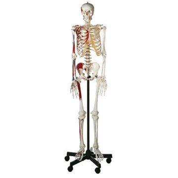 SOMSO mandlig skeletmodel med origo og insertio