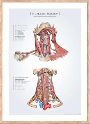 Muskler i Halsen