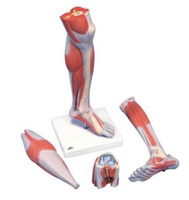 Nedre muskelben med knæ i 3 dele