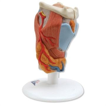 Strubehoved (larynx) i normalstørrelse i 2 dele