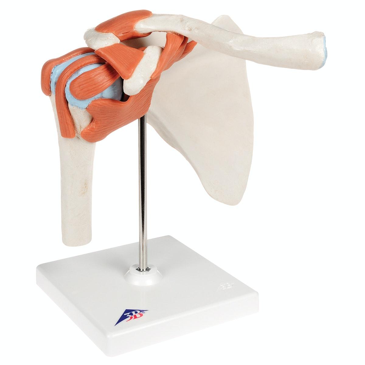 Fleksibel skuldermodel med ledbånd og farvede ledflader
