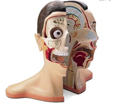 Model af hoved og nakke