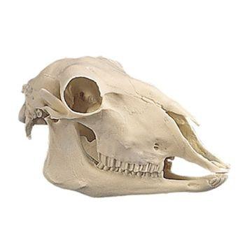 Fårekranie i plastik (Ovis aries)