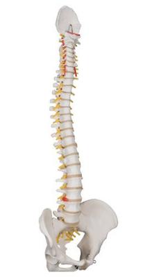 3B fleksibel rygsøjlemodel i voksen størrelse mandlig bækkenmodel