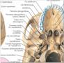 Plakat om kraniets anatomi på latin (men tysk overskrift)
