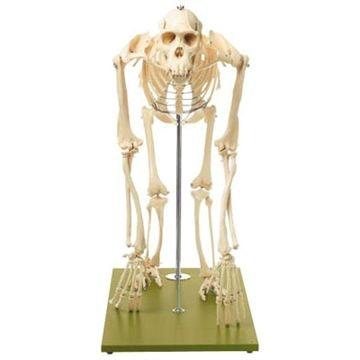 SOMSO Chimpanseskelet fuld størrelse