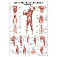 Laminerad plansch med muskler på kroppens framsida tyska och latin