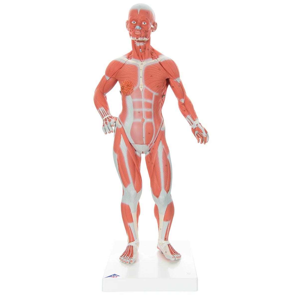 Muskelfigur 57 cm i 2 dele