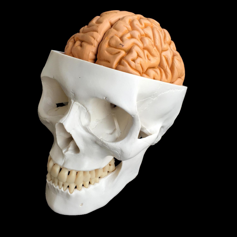Kranie med modell av hjärna i åtta delar