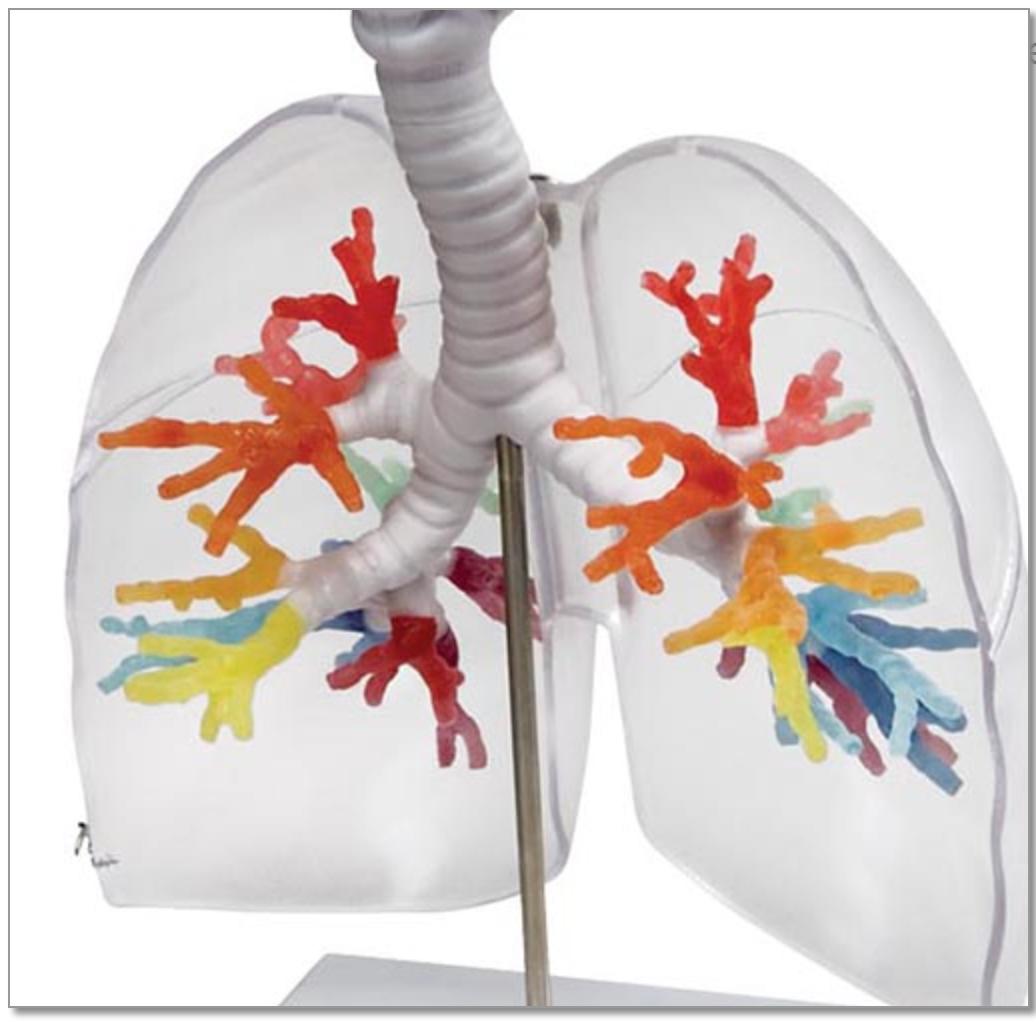 CT bronkier med strube 3D model via tomografisk data med lunger