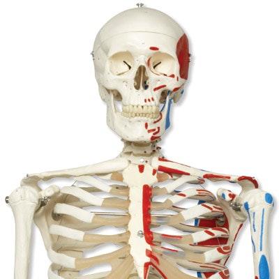 3B skeletmodel med muskulaturangivelser