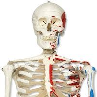 Klassisk skeletmodel med farvede muskelangivelser