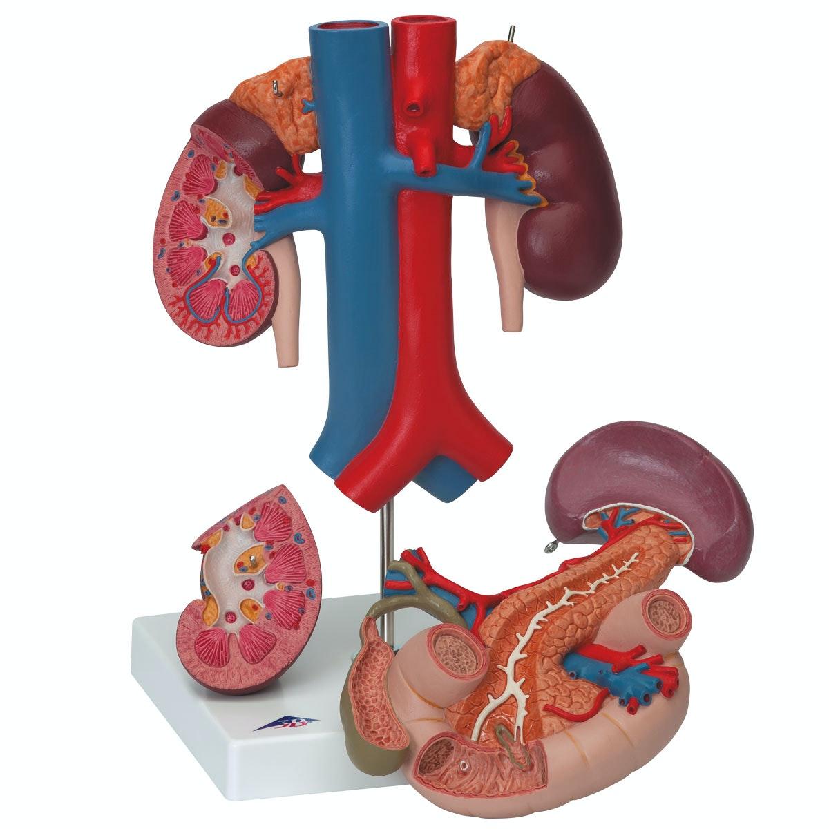 Detaljeret model af tolvfingertarmen og bugspytkirtlens relationer til andre organer - kan adskilles i 3 dele