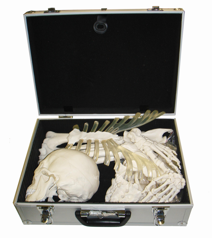 eAnatomis knoglesæt til studiebrug