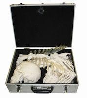 Knoglesæt med meget naturtro knogler udviklet til studiebrug. Leveres i en papkasse