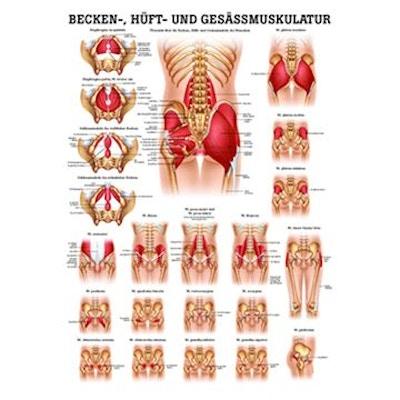 Lamineret muskelplakat om muskler i bækkenet og hoften samt sædemuskler på latin & tysk