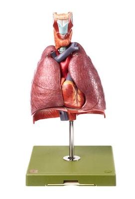 SOMSO Model af brystkassen