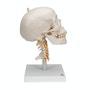 Kraniemodel inkl. bevægelige halshvirvler