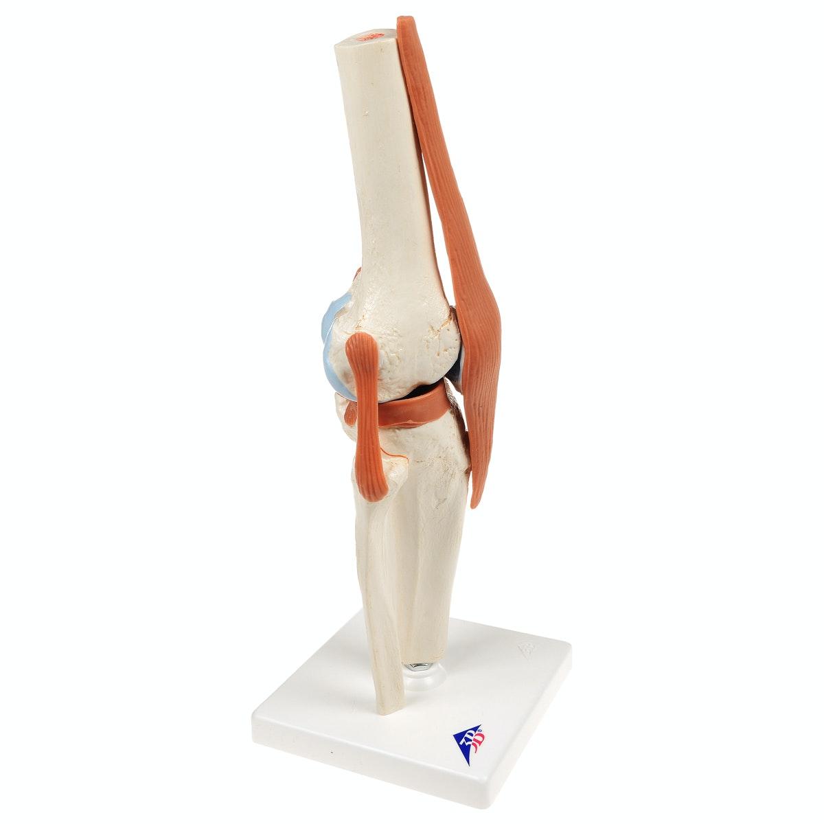 Fleksibel knæmodel med ledbånd og farvede ledflader