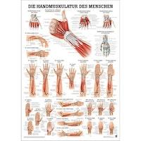 Lamineret muskelplakat om hånden og underarmens muskler på latin (men tyske overskrifter)