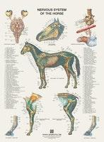 Hästens kardiovaskulärt system 60x80 cm