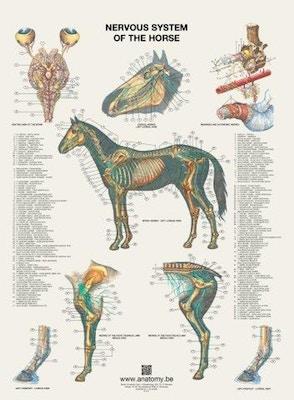 Plakat med hestens nervesystem på latin og engelsk-latin