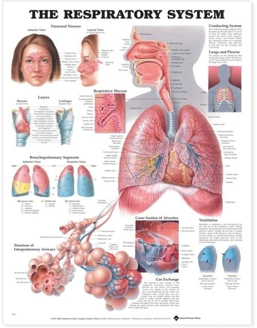 Plakat om åndedrætssystemet på engelsk