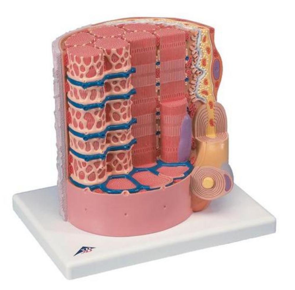 Detaljeret model af en muskelfiber fra skeletmuskulaturen forstørret godt 10.000 gange