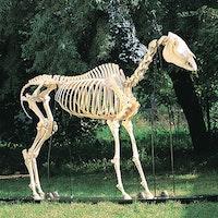 Hästskelett (Equus caballus)