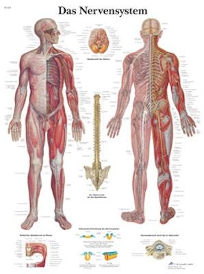 Lamineret plakat om nervesystemet på latin (men tysk overskrift)