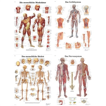 4 plakater: muskulatur, skjelett, kar- og nervesystem i ren latin